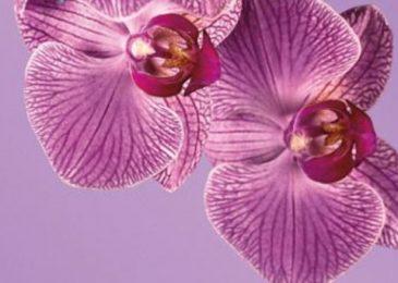 มนต์เสน่ห์แห่งสีม่วง : Radiant Orchid